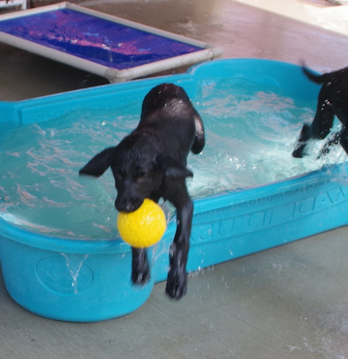 fetching the ball out of the puppy pool