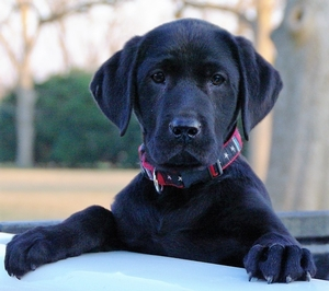 Labrador Retriever Puppies Category Photo