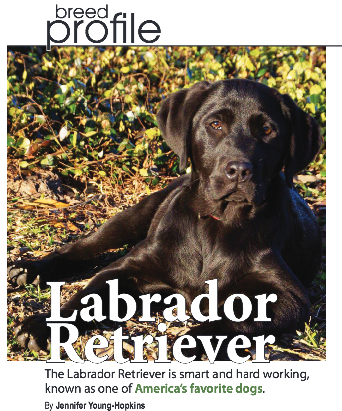 The Labrador Retriever is smart and hard working dog